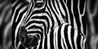 Ce culoare au zebrele? Sunt albe cu dungi negre sau negre cu dungi albe?
