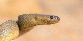 Cel mai veninos șarpe din lume nu a ucis niciodată pe nimeni