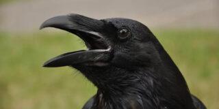 Cât trăiește corbul? Este adevărat că poate trăi 300 de ani?