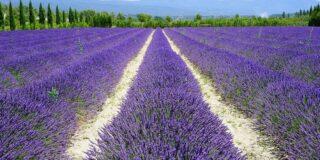 Cele mai frumoase locuri din lume: câmpurile de lavandă din Provence, Franța