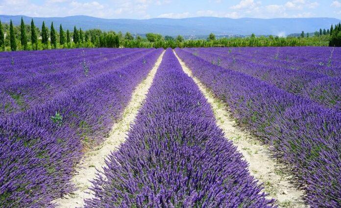 Campuri de lavanda din Provence