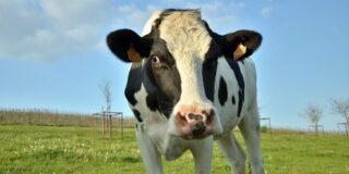 Este adevărat că vaca are 4 stomacuri? Câte stomacuri are vaca?