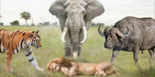 7 animale care pot ucide un leu