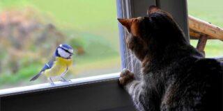 De ce pisicile ciripesc când văd păsări?