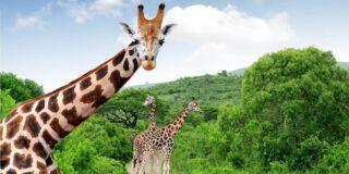 Curiozități despre girafe. Lucruri pe care nu le știai despre girafă
