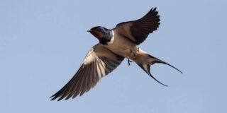 20 de curiozități despre rândunică | Pasărea care aduce primăvara