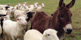 De ce există măgari în turmele de oi? Care este rolul măgarului în turmă?